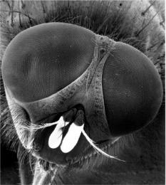 Musca domestica Pomel Lampy